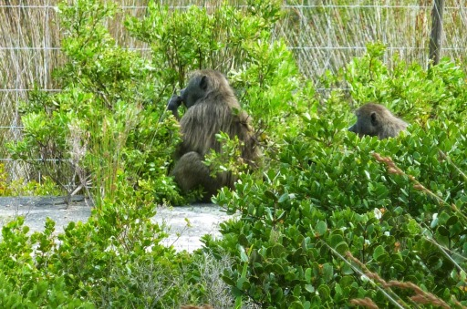 Baboons en route to Cape Point